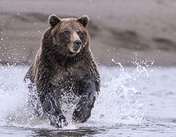 A coastal brown bear splashes through a tidal pool pursuing salmon at Lake Clark NP, Alaska